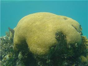 Underwater image of a green stone like object with patterns on the surface resembling a brain.