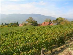 A vineyard at Myans