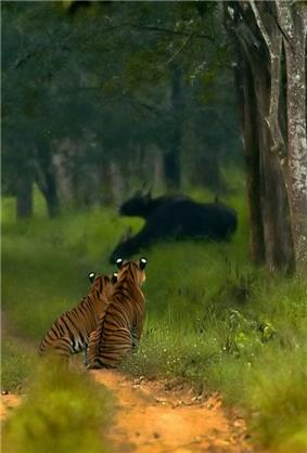Tigers watching gaurs in Bhardra WLS
