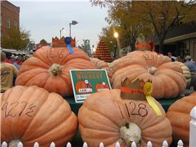 Very large orange pumpkins