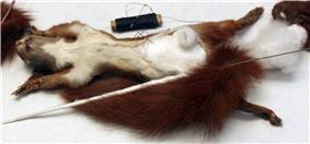 2013-03 Naturkundemuseum Berlin Taxidermie Eichhörnchen Sciurus vulgaris anagoria 2.JPG