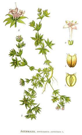 72 Sherardia arvensis.jpg
