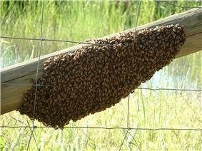 Swarm of honey bees on a wooden fence rail