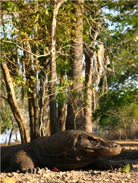 Komodo dragon at Komodo National Park, Indonesia.