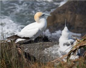 Adult and child Gannet at Muriwai