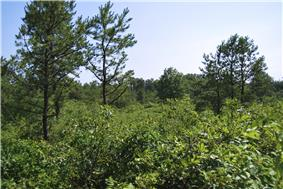 A few pine trees are surrounded by a number of low-lying oak-scrub bushes and trees during summer months.