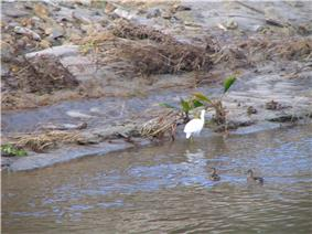 Several birds wading and swimming in muddy water