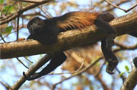 Monkey lying on a branch: mostly black with rust-colored hair on its side.