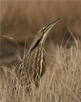A brown heron with brown, back and beige coloured streaks stands in similarly coloured dead grasses, its head pointed upwards