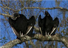 Two large black birds with black unfeathered heads with their wings half-spread sitting on a tree branch in a tree with few leaves