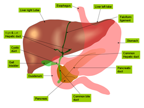 Liver and gall bladder