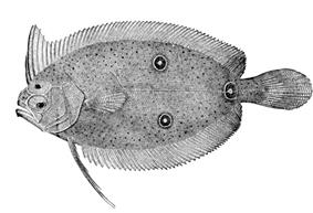 Three-eye flounder