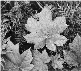 A black-and-white close-up photograph of palmate, conifer, and small fern-like leaves overlapping, all visibly damp. One slightly larger and brighter palmate leaf rests in the upper foreground, covering all but one third of the photograph.