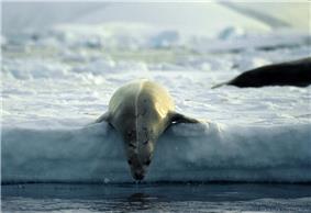 Antarctic, Crabeater Seal (js) 9.jpg