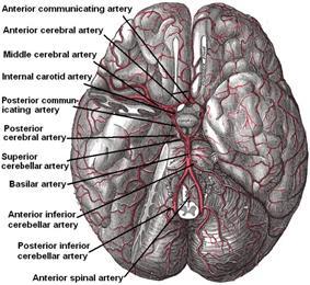 Arteries beneath brain Gray closer.jpg