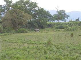 Grassland with a rhinoceros.
