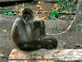 Spider monkey seated on the ground.  Dark head, face, hands and feet, light chest and white on nose, around eyes and around mouth.
