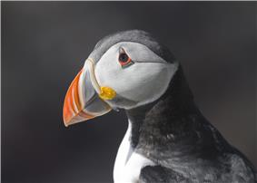 Head of a puffin showing its colourful beak