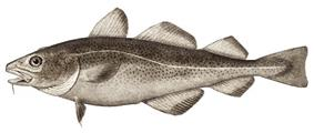 File:Atlantic cod