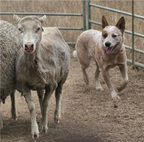 A cattle dog herding sheep in a pen