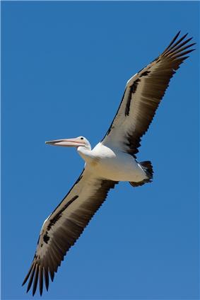 Australian pelican gliding