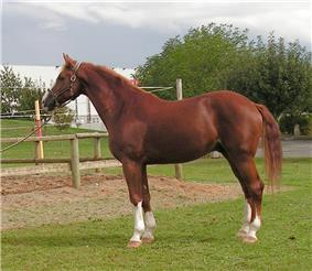 A reddish-brown horse, facing left, wearing a halter and looking alert with its ears forward
