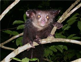 Aye-aye perched on a branch