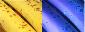 Two adjacent photos of bananas. The left is in sunlight; the right is under ultraviolet light.