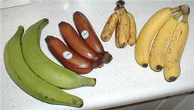 Photo of four several large green, smaller red, very small yellow, and medium-sized yellow bananas