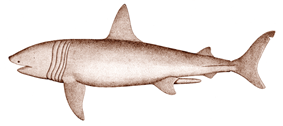 Drawing of shark in profile, showing split tail, and five dark bands that encircle the body between the head and pectoral bands