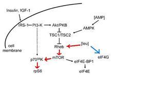 BCAA pathway