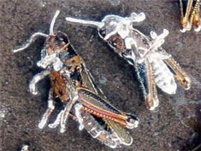 Two dead grasshoppers with a whitish fuzz growing on them