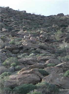 Bighorn Sheep-Anza Borrego.jpg