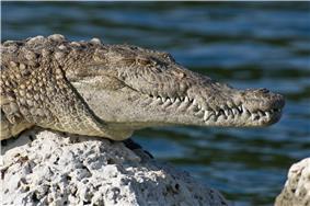 A smiling American crocodile