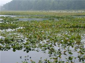 A lake with dark-colored water and many green water plants </center>