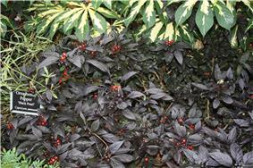 Black Pearl Pepper.