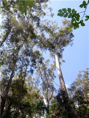 Photograph looking up tall straight trees and their canopy against the sky