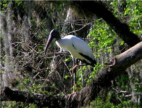 A white bird with long legs and a black head and beak standing on one leg on a branch with foliage in the background