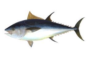 Pelagic fish (Atlantic bluefin tuna)