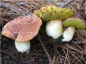 A group of three mushrooms with reddish-brown caps, bright yellow porous undersides, and thick white stipes. They are growing on the ground in soil covered with pine needles.