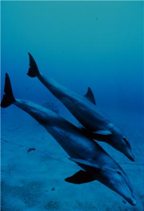 Photo of juvenile diving just above its mother's dorsal fin