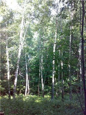 A birch forest at the accident site