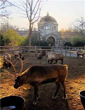 Seven reindeer with large antlers graze in a pen in front of a red domed building in winter.