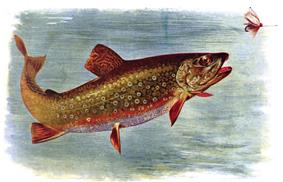 Colored drawing of trout jumping for a fly