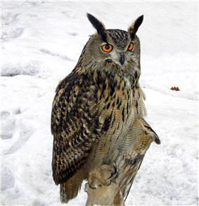 A large owl perched against a snowy background