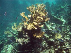 Buck Island Reef National Monument firecoral jackfish.jpg