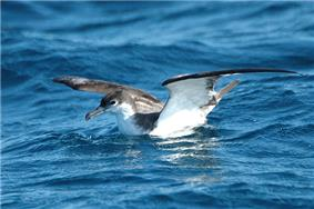 Buller's shearwater on sea surface