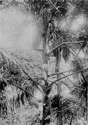 COLLECTIE TROPENMUSEUM Het tappen van een arenpalm op Ambon Molukken. TMnr 60013217.jpg