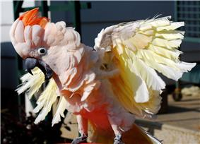 Closeup of a wing-clipped white and salmon-coloured cockatoo ruffling its wings and crest and apparently squawking. It has a ring on its left leg.