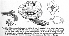 Ichthyophis glutinosus